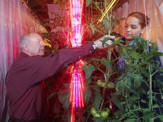 LEDs in greenhouses deliver same yield as grow lights, using just 25% of the energy