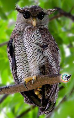 Bubo sumatranus - Barred Eagle OWL ->> http://en.wikipedia.org/wiki/Barred_Eagle-Owl