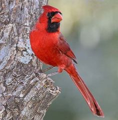 """Ohio designated the northern cardinal (Cardinalis cardinalis) as official state bird in 1933. One of America's favorite backyard birds, cardinals are distinctive in appearance and song - known for their """"cheer cheer cheer,"""" """"whit-chew whit-chew"""" and """"purty purty purty"""" whistles."""