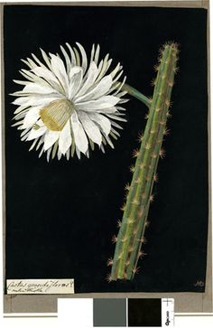 Cactus Grandiflorus (Icosandria Monogynia), formerly in an album (Vol.II, 32); Melon Thistle. 1778 Collage of coloured papers, with bodycolour and watercolour, on black ink background