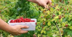 La Huerta de Ivan nos cuenta cómo plantar frambuesas. ¡Genial!