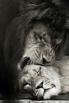 Art Discover famous lion and lioness quotes lion lioness . Beautiful Cats Animals Beautiful Stuffed Animals Lioness Quotes Animals And Pets Cute Animals Gato Grande Lion Love Lions In Love Lion Pictures, Animal Pictures, Beautiful Cats, Animals Beautiful, Lioness Quotes, Animals And Pets, Cute Animals, Lion Love, Lion Art