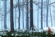 Pine trees in the snow (Netherlands) by Lydia Machant on 500px