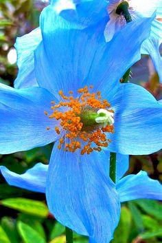 Meconopsis betonicifolia - Himalayan [Tibetan] blue-poppy