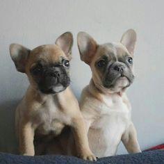 Filip and Liam ♡♡, French Bulldog Puppies.