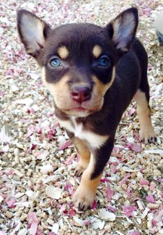 Australian Kelpie puppy Australian Dog Breeds, Australian Terrier, Australian Cattle Dog, Australian Shepherds, Cute Puppies, Cute Dogs, Dogs And Puppies, West Highland Terrier, Scottish Terrier
