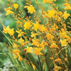 We adore the bright colours of crocosmia to brighten the border from mid to late summer, often when other plants are just starting to fade – they help to bring the garden to life again. Description from mr-fothergills.co.uk. I searched for this on bing.com/images