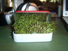 Altoids Tin Mini Garden: I am going to try this with chia seeds.