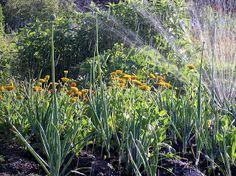 Et hageprosjekt: Nyttig kombinasjon: løk og ringblomst
