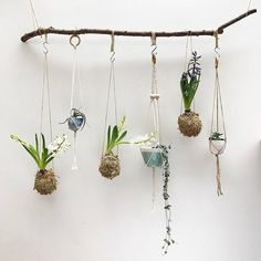 Kokedama part 2: lots of people were interested in my progress shot of making these moss balls yesterday. So here is my take on this Japanese tradition - transforming the these flowering hyacinths into dangling sculptural objects, fuelling my obsession for house plants that hang. (Oh and I did some more macrame yesterday too). If you try it the plants need soaking once or twice a week when the moss ball starts to feel dry. . Also sharing this for #mybeautifulsimplicity, which is a new tag…