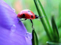Ladybird traversing the gap between crocus petal and leaf