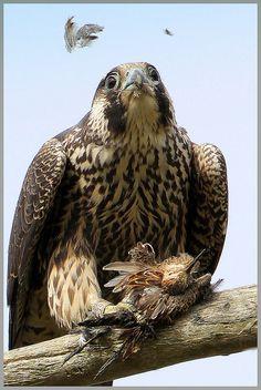 Feathers flying, Peregrine, by winnu, via Flickr