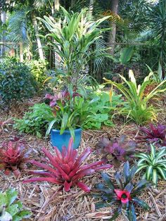 images about Bromeliad Garden on Pinterest