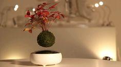 Air Bonsai, um bonsai que levita com o uso de ímãs - limaonagua