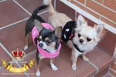 arneses perros chihuahua
