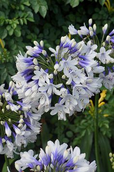 Buy African lily Agapanthus africanus 'Twister (PBR)' - A new form with bicoloured flowers: Delivery by Crocus Hardy Perennials, Flowers Perennials, Planting Flowers, White Perennial Flowers, Perennial Plant, Large Flowers, White Flowers, Beautiful Flowers, Cut Flowers