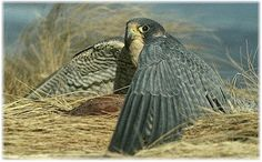 Problem and solution (with other structures) about peregrine falcons. Complex, better for middle school and up. From Death's Door to Life in the City.