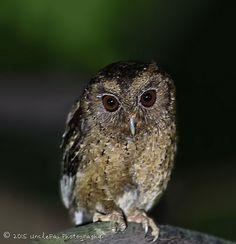 Collared Scops Owl (Otus Lempiji 领角鸮) | Did my best to rescu… | Flickr - Photo Sharing!
