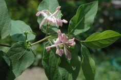 le Chèvrefeuille de Tatarie à fleurs rose pâle est une plante d'ombre
