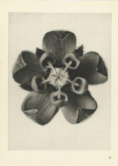 design-is-fine:  Karl Blossfeldt, plant studies, Urformen der Kunst - photographische Pflanzenbilder, 1928. Via Rijksmuseum