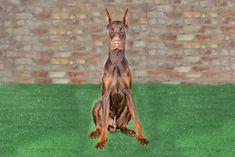 Doberman Puppies For Sale In York Classiads Uk Free Classified