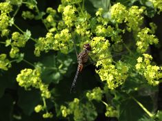 Dragonfly Beneficial Insects, Damselflies, Creatures, Herbs, Fruit, Dragonflies, Photography, Beautiful, Beauty