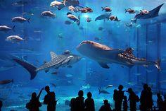 Kuroshio Sea Aquarium in Okinawa - the biggest fish tank I've ever seen, and the first time I saw a whale shark.