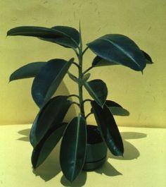 Rubber Plant- Ficus elastica