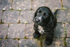 "handsomedogs: "" Melissa Keizer | Bubba the Cocker Spaniel Puppy """