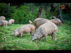 A qualidade da carcaça e da carne de Porco Bísaro. Estudámos a alimentação desta raça autóctone da região de Trás-os-Montes, com um acabamento a castanha.