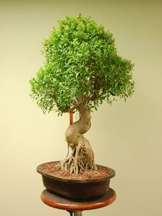 Huge Bonsai Ficus Retusa Bonsai Tree with Grafted Small Leaves | eBay