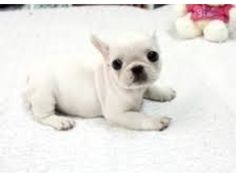 What a rare beautiful opportunity to own such a lovely french bulldog! He is absolutely gorgeous and has such a smushy, beautiful face. He will be smaller than standard french bulldog. We are estimating him to be about 12 to 15 pounds. Very beautiful litt Puggle Puppies, Bulldog Puppies For Sale, Puppies And Kitties, Baby Puppies, Cute Puppies, Teacup Puppies, Adorable Dogs, Puppys, Doggies