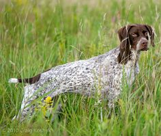 The French Pyrenean Pointer was developed in 17th-century France for pointing & tracking game.  It is basically a refined version of the French Gascony.  It is extremely agile in thick cover, scenting game on the air.  The French Pyrenean learns easily, gets along well with children & other dogs, is comfortable in any weather, and rarely requires grooming.  Despite all this, it is rarely seen outside France.