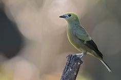 Thraupis palmarum - Palm Tanager - Tangara Palmera - Azule… | Flickr