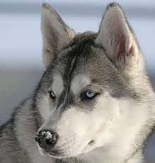 pic silver-grey siberian husky - Google Search