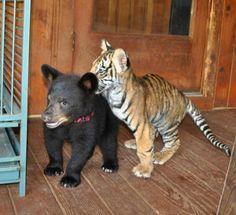 Kleine beer en tijger