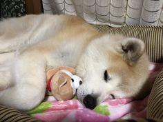 Japanese Dog Breeds, Japanese Dogs, Akita Dog, Shiba Inu, Husky, Corgi, Cute Animals, Puppies, Nihon