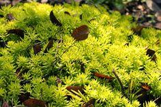 Lemon Coral Sedum - Rambling Wren