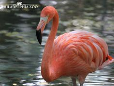 The flamingo's pink color comes from the food they eat, including algae, small aquatic insects and crustaceans (like pink shrimp). This moment was captured by Camera Club member Becky Pischl. Aquatic Insects, Greater Flamingo, Philadelphia Zoo, Collective Nouns, Bird Feathers, Pink Color, Caribbean, Shrimp, Birds
