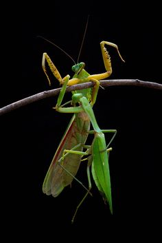 fight by Hendy Mp on Reptiles, Mantis Religiosa, Cool Bugs, Beautiful Bugs, Praying Mantis, Insect Art, Bugs And Insects, Festival Posters, Moth