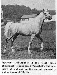 Raffles, b 1926. pure Crabbet. Aragon traces to him Arbiteur/Genevieve C/Galizja of Rohan/Rhondanecian/then 2 lines; one thru sire's dam to Raffles' get Joye, one through dam's sire to Raffles' get Azraff. Also through dam's sire to Launa Basketu (1974) back to Raffles' get Rapture (1946). |