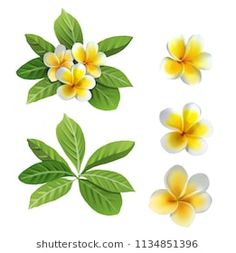 Hawaii flowers plumeria isolated on white Hawaii Flowers, Plumeria Flowers, Tattoo Fleur, Plumeria Tattoo, Cute Paintings, Acrylic Flowers, Wallpaper Decor, Color Pencil Art, Flower Aesthetic