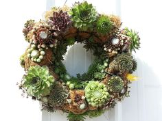 My hen and chicks wreath -- starting to fill in nicely.  Available at Murphy's Gardens Greenhouse in Galena, IL !