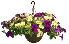 Hanging Basket  Lemon Zest and Purple Petunia