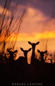 Impalas at dusk, Okavango Delta, Botswana Africa   by Frans Lanting
