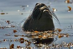 Did somebody say lunch? A harbor seal pokes its head out of a kelp forest near Frog Rock on the front side of Catalina Island