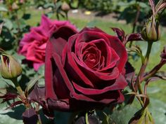 It is the closest to a black rose that we have seen, especially in its tight bud stage but it does open to a red. Description from magicgardenroses.com.au. I searched for this on bing.com/images