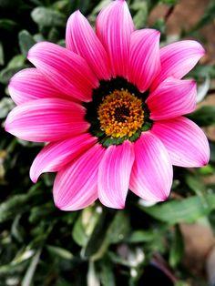 Gazania rosa. Viveros Gonzalez. Garden Centre. Marbella