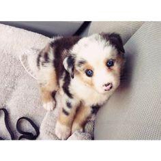 Everyone, meet Bentley, our new Australian Shepherd pup.
