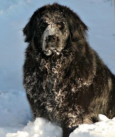 Newfoundland dogs love the snow!